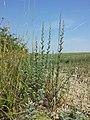 Artemisia pontica sl14.jpg