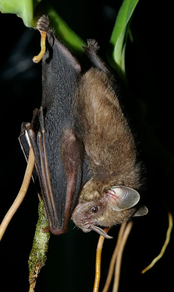 The average adult weight of a Pygmy fruit-eating bat is 11 grams (0.02 lbs)