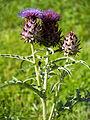 Artischocke, Cynara cardunculus, Pflanze 01.jpg