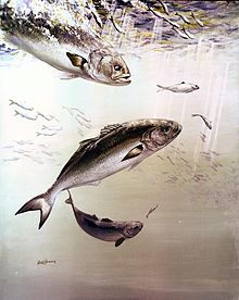 Artistic painting of bluefish.jpg