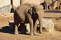 Asian Elephant at Chester Zoo 4.jpg