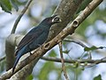 Asian Fairy Bluebird f MG 0027 GarimaBhatia.jpg