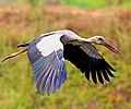 Asian openbill stork (Anastomus oscitans) ചേരാക്കൊക്കൻ, ഞവുണിക്കാപ്പൊട്ടൻ. (32256655663).jpg