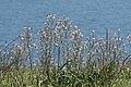 Asphodelus aestivus - Common Asphodel 06.jpg