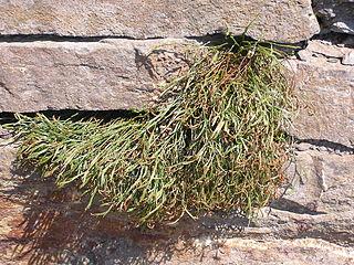 <i>Asplenium septentrionale</i> species of plant