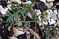 Astragalus australis a1.jpg