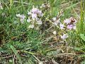 Astragalus austriacus sl15.jpg