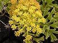 Astydamia latifolia (Los Cancajos) 02 ies.jpg