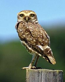 Owls!                                                                                                                                            220px-Athene_cuniculariaa