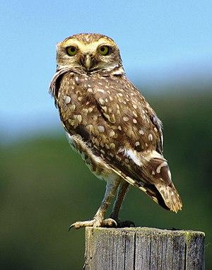 Owl - Burrowing owl (Athene cunicularia)