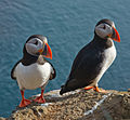 Atlantic puffin 060.jpg