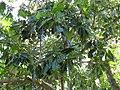 Atuna racemosa subsp racemosa - Flower Buds and Leaves - Kahanu Gardens 2.jpg