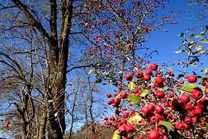Crataegus laevigata - Crataegus laevigata (fruits)