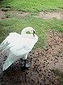 Australian ducks.jpg