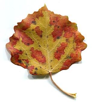 Autumn. Leaves - populus tremula.jpg