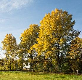 Autumn aspens in Öhed.jpg