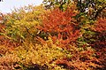 Autumn colours in Glyn-Hafren Wood - geograph.org.uk - 574046.jpg
