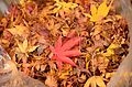 Autumn foliage 2012 (8252567245).jpg