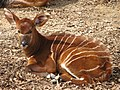 Baby Bongo at the Louisville Zoo.jpg