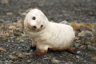 Antarctic fur seal - Baby fur seal, South Georgia
