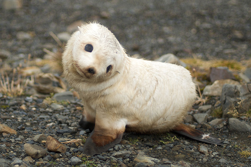 Baby Seal South Island