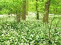 Baerlauch bedeckt gesamten Waldboden.jpg