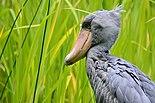 Balaeniceps rex (Schuhschnabel - Shoebill) - Weltvogelpark Walsrode 2011.jpg
