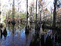 Bald Cypress Swamp at FLSP (5249362232).jpg