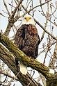 Bald Eagle (8442551059).jpg