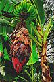 Bananatreeinflower.jpg