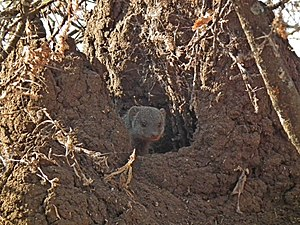 Banded mongoose - Mongoose looking out a burrow entrance