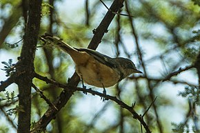 Description de l'image Banded Warbler - Lake Manyara - Tanzania 7999 (19110072278).jpg.