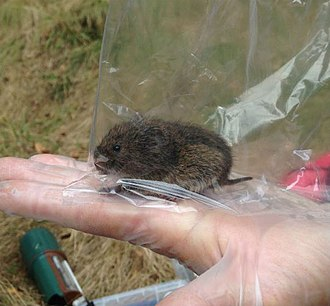 Mark and recapture - Bank vole, Myodes glareolus, in a capture-release small mammal population study for London Wildlife Trust at Gunnersbury Triangle local nature reserve