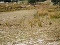 Banksia integrifolia L.f. (AM AK291450-2).jpg