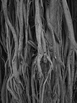Banyan tree design.jpg