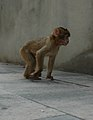Barbary macaques at Prince Ferdinand's Battery, Gibraltar 31.JPG