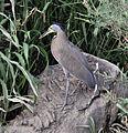 Bare-throated Tiger-Heron (6900675112).jpg