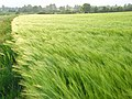 Barley, Bothampstead - geograph.org.uk - 809897.jpg