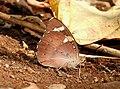 Baronet Euthalia nais UN by Dr. Raju Kasambe DSCN9440 (6).jpg
