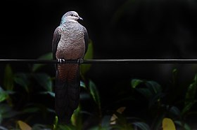 Barred Cuckoo-dove Neora Valley National Park Darjeeling West Bengal India 30.04.2016.jpg
