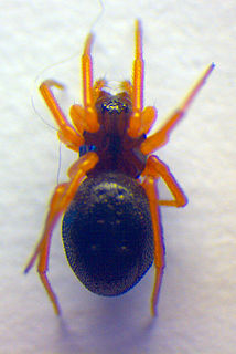 <i>Baryphyma</i> Genus of spiders