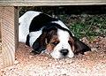 Basset Pup 001.jpg
