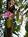 Bauhinia variegata 0002.jpg