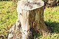 Baumstumpf mit Zaun-Blättling Gloeophyllum sepiarium 3547.jpg