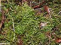 Bazzania trilobata 060107.jpg