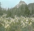 Bear Grass (Glacier Park) (15332471154).jpg