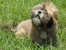 Bearded Lion Dog.jpg