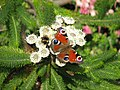 Bee and Butterfly - geograph.org.uk - 820856.jpg