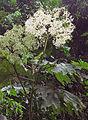 Begonia parviflora (14379478271).jpg