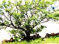 Bela Árvore na beira da Barragem Sanchuri em Uruguaiana.jpg